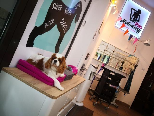 cavalier w salonie groomerskim w warszawie
