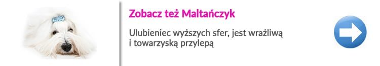 https://malowanypies.pl/wp-content/uploads/2018/10/Maltanczyk_opis_rasy-750x131.jpg
