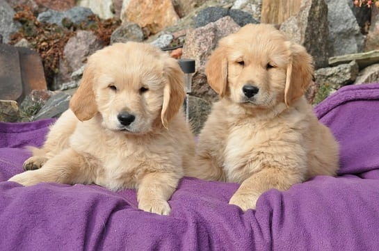 //malowanypies.pl/wp-content/uploads/2018/10/golden-retriever-puppies_szczeniaki_grooming.jpg