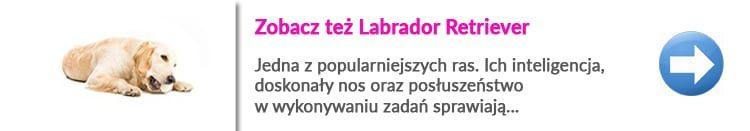 http://malowanypies.pl/wp-content/uploads/2018/10/labrador_retriever_strzyzenie_zobacz_wiecej-750x131.jpg