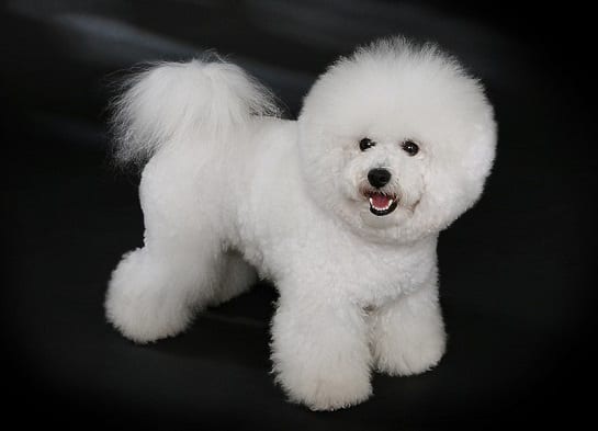 //malowanypies.pl/wp-content/uploads/2018/11/bichon_friese_grooming_rasy.jpg