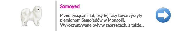 strzyżenie samoyeda w Warszawie