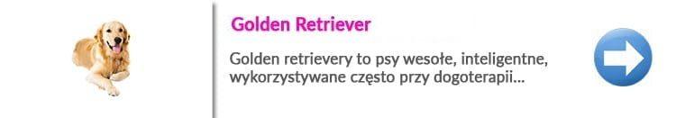 rasy psów w Warszawie Golden retriever
