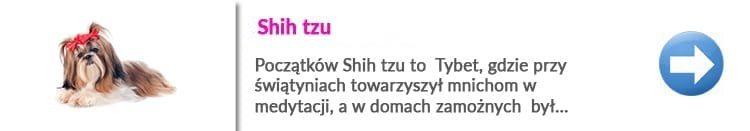 rasy psów w Warszawie shih tzu