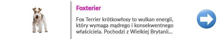 fox terrier i zasady trymowania psów tej rasy w Warszawie