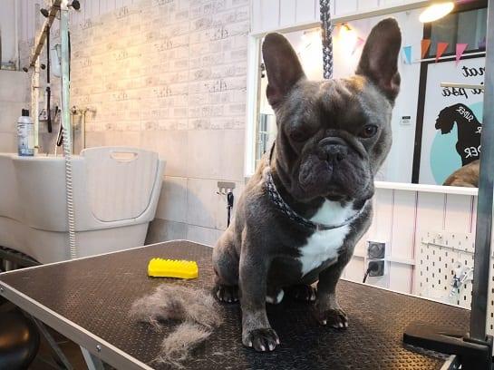 najlepszy psi fryzjer w warszawie buldożek francuski