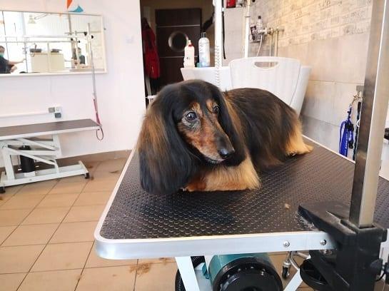 jamnik grooming psi fryzjer warszawa