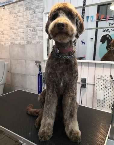 grooming psi fryzjer warszawa labradoodle